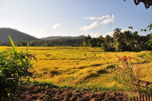 Yellow ricefields near Mae Sariang