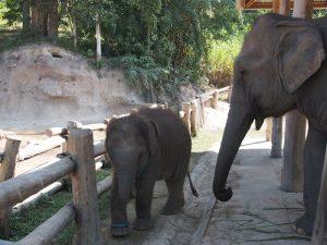Thai elephant day tours Single travel