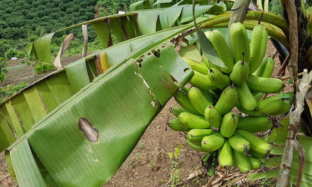 bananas Sukhum Garden Chiang Dao