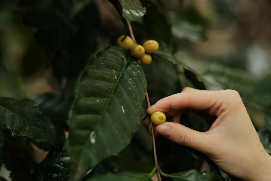 Hand picking a coffee bean