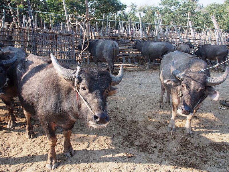 Buffaloes in captivity San Patong Buffalo Market