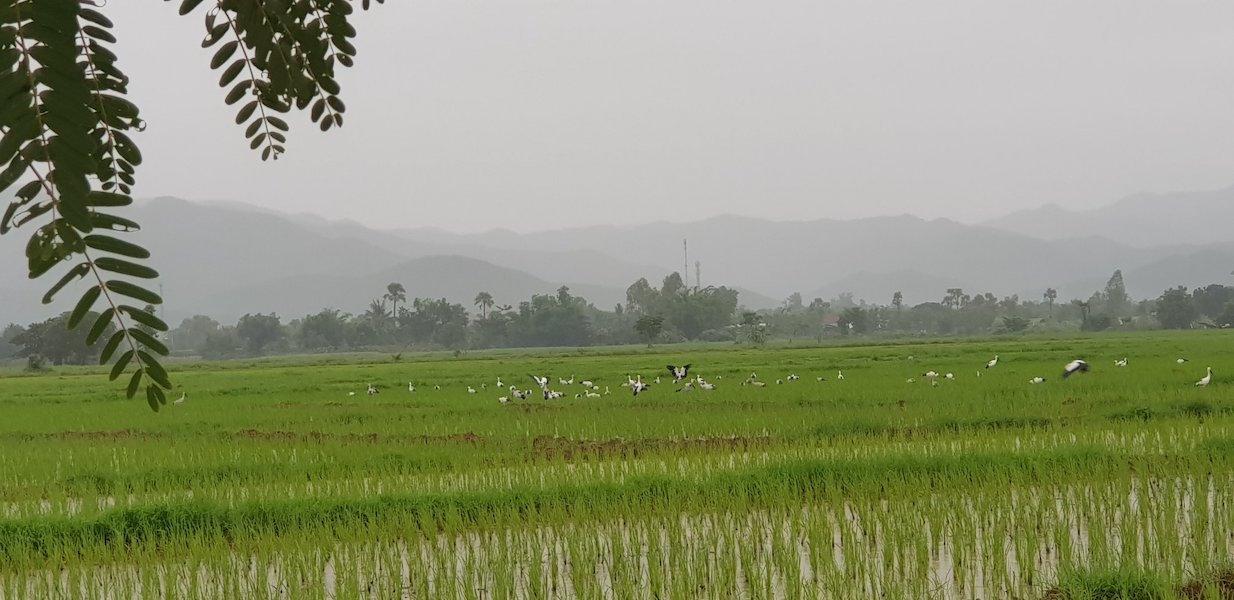 Rice fields with birds